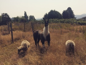 The sheep and llama are doing okay, even with the smoky haze coming from the BC wildfires